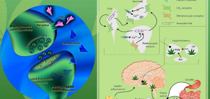 understand endocannabinoid system - nature going smart