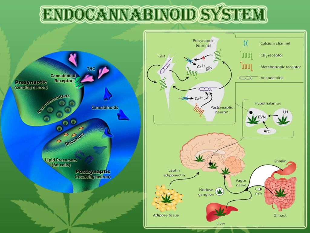 Caution: understanding the Endocannabinoid System might change ...