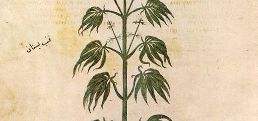Cannabaceae