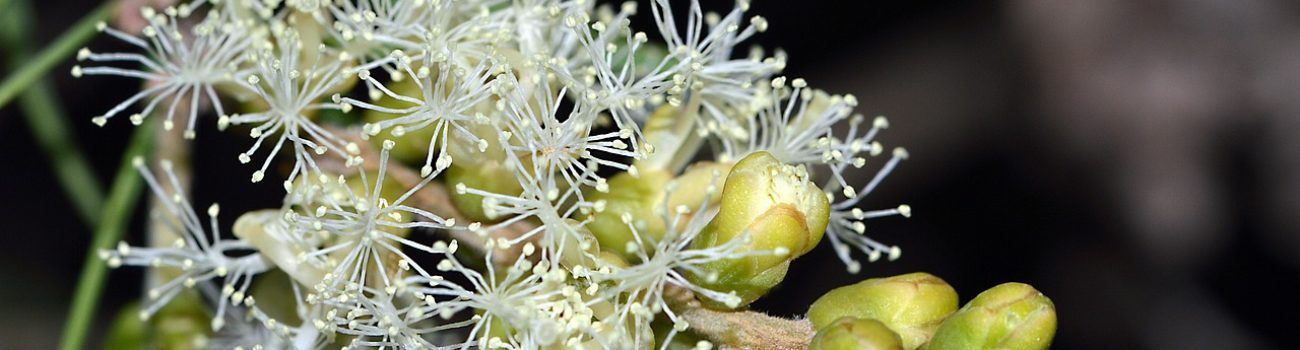 Tea tree oil: an insight on the Aboriginal bush medicine